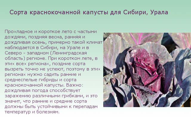 Сорта краснокочанной капусты для Сибири, Урала