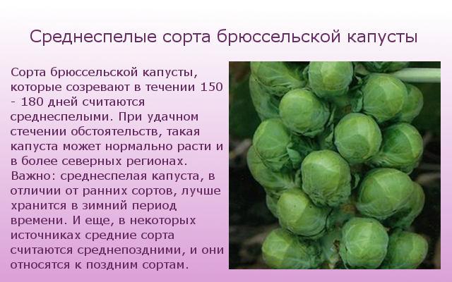 Среднеспелые сорта капусты
