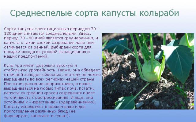 Среднеспелые сорта капусты кольраби