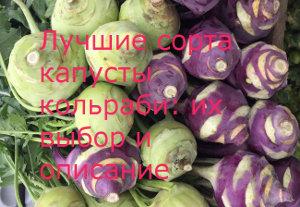 сорта капусты кольраби первая