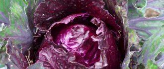 сорта краснокочанной капусты
