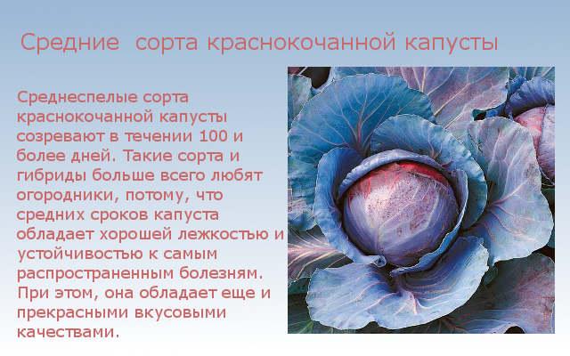 средние сорта краснокочанной капусты