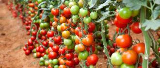Лучшие индетерминантные сорта томатов