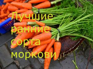 Лучшие ранние сорта моркови 2