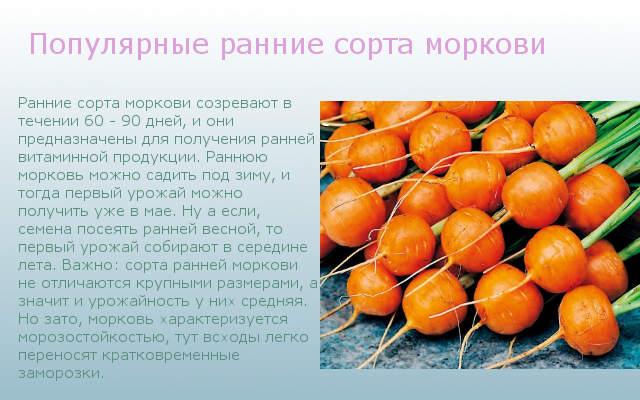 Популярные ранние сорта моркови