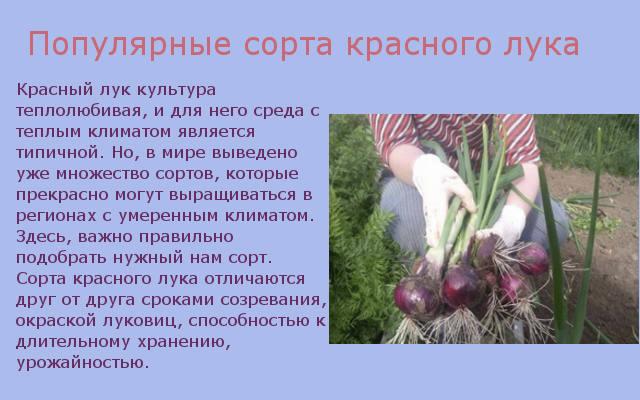 Популярные сорта красного лука