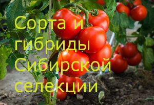 Сорта и гибриды Сибирской селекции