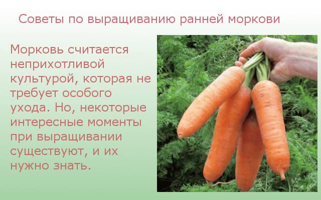 Советы по выращиванию ранней моркови