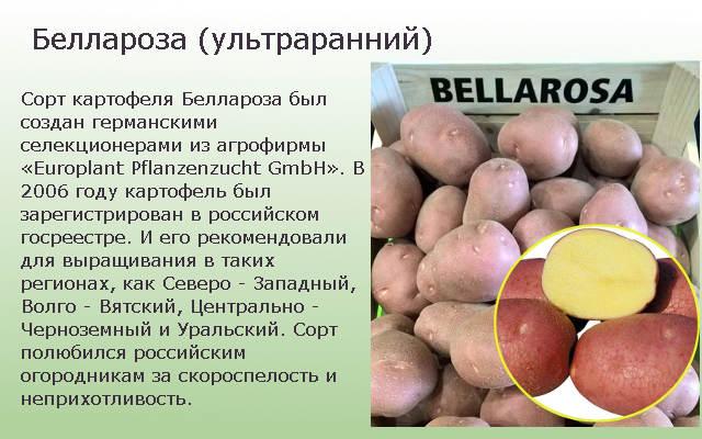 Беллароза