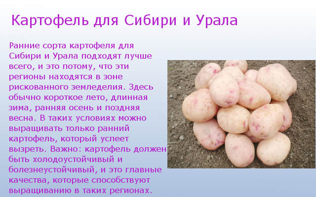 Для Сибири и Урала сорта картофеля
