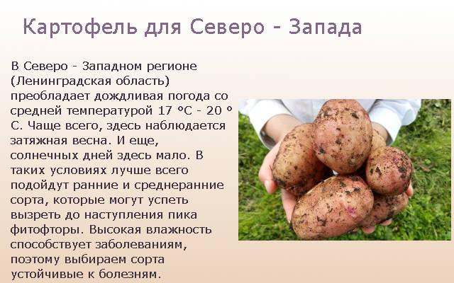 Картофель для Северо - Запада