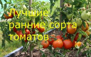 томаты ранние