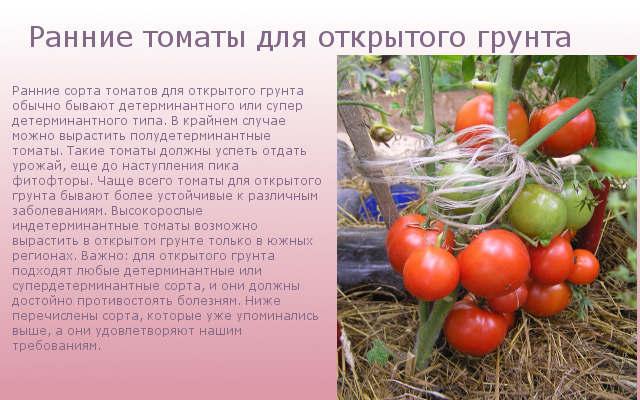 Ранние томаты для открытого грунта