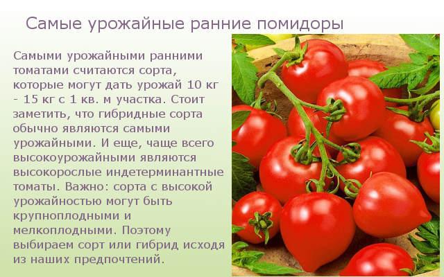 Самые урожайные ранние помидоры