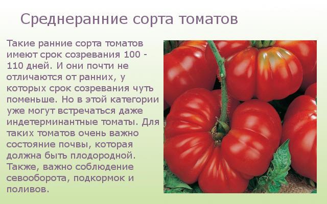 Среднеранние сорта томатов