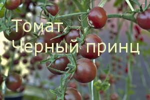 Черный принц сорта томатов