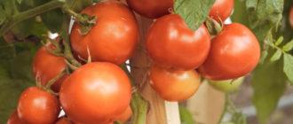 Лучшие полудетерминантные сорта томатов