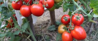 Лучшие штамбовые томаты