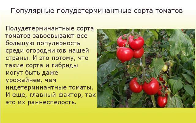 Популярные полудетерминантные сорта томатов