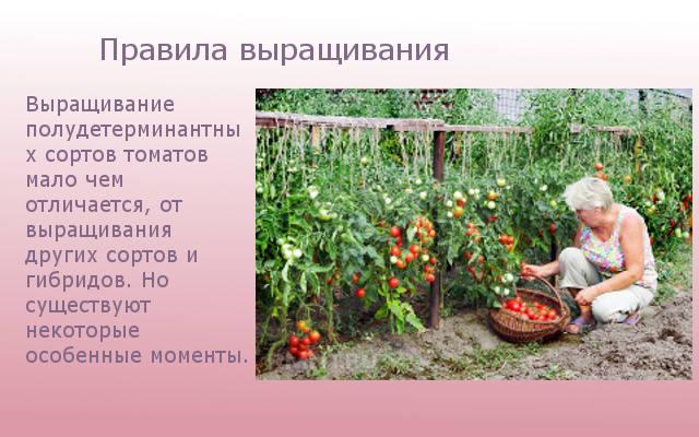 Правила выращивания сорта томатов