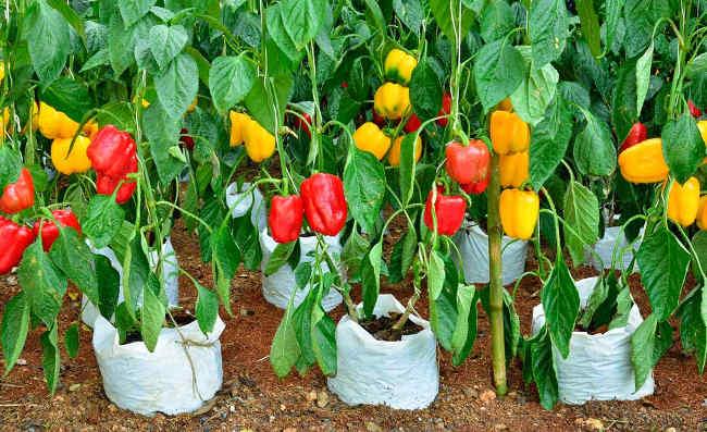 Выращивание ранних перцев