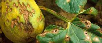 Болезни тыквы и борьба с ними