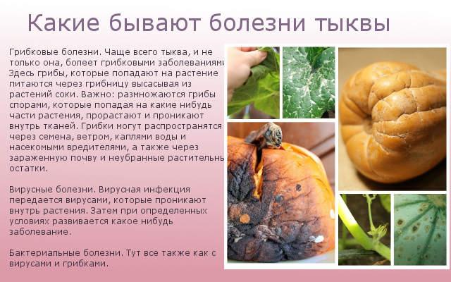 Какие бывают болезни тыквы