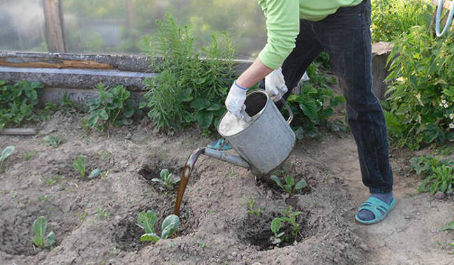Подкормка капусты после высадки в грунт