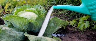 Подкормка капусты рассады и на огороде
