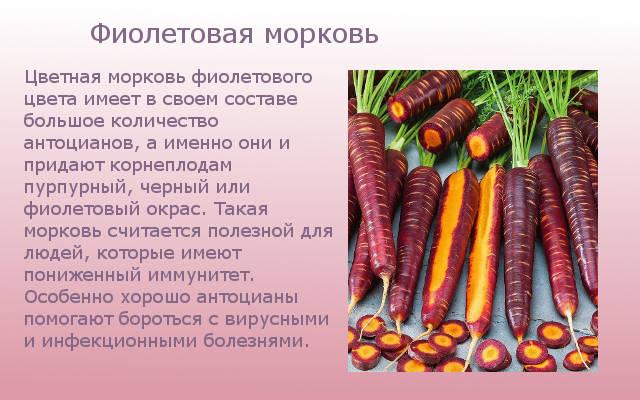 Фиолетовая морковка