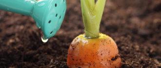 Подкормка моркови