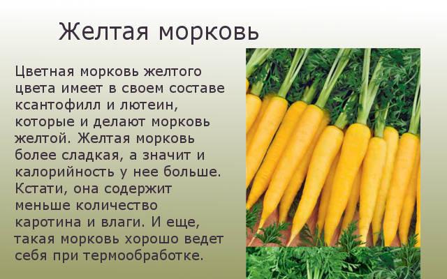 Желтая морковка