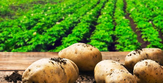 Как выращивать рассыпчатый картофель