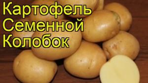 Колобок сорта картофеля