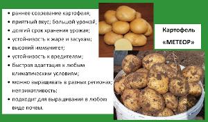 Метеор сорта картофеля