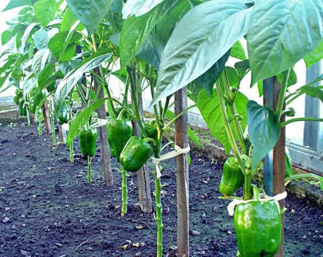 Особенности выращивания перцев
