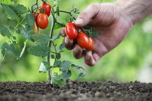 Особенности выращивания ультраранних томатов
