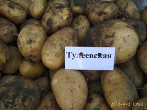 Тулеевский сорта картофеля
