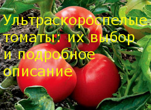 Ультраскороспелые томаты