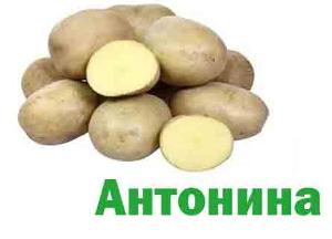 Антонина сорта картофеля