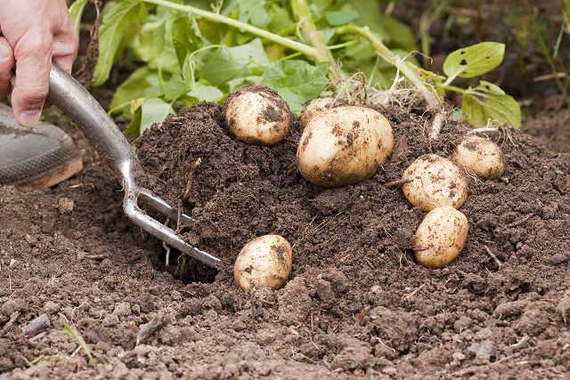 Ультраранние сорта картофеля особенности выращивания