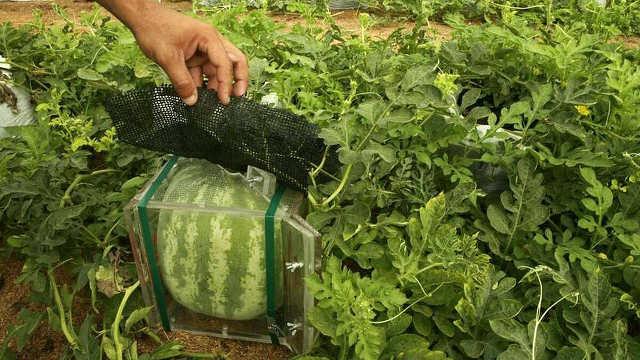 Выращивание квадратных арбузов
