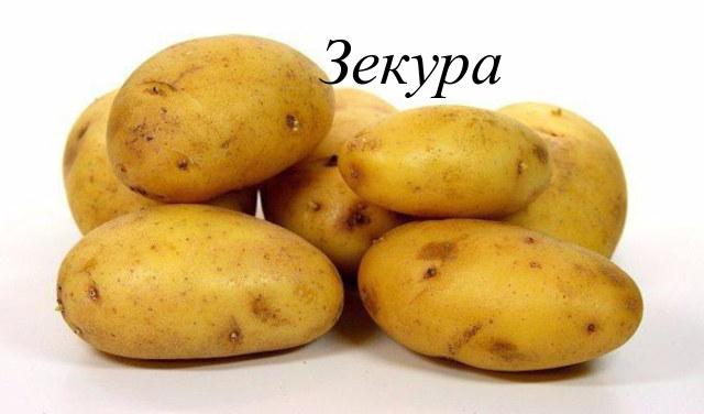 Зекура сорта картофеля