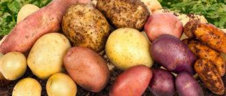 вкусные сорта картофеля